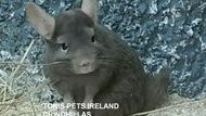 Tonis Pets Ireland Chinchillas